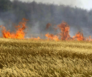 UAF Burns DPR Wheat, July 2014 (--tigr.net)